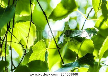 The green leaves of a birch lit with sunlight