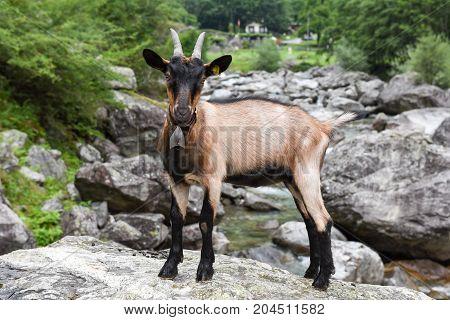 Goat At A River Near Foroglio