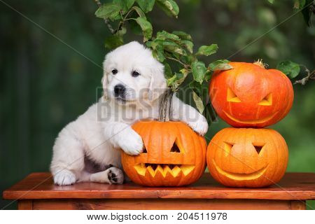 adorable golden retriever puppy hugging Halloween pumpkins