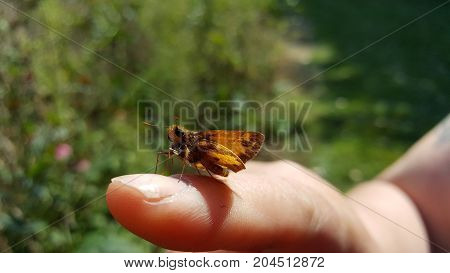 a skipper butterfly resting on a finger.