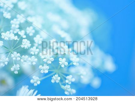 Beautiful blurred white flowers against the light blue background (very shallow DOF selective focus) copyspace on the right
