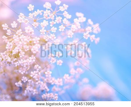 Beautiful blurred white and pink flowers against the light blue background (very shallow DOF selective focus) copyspace on the right