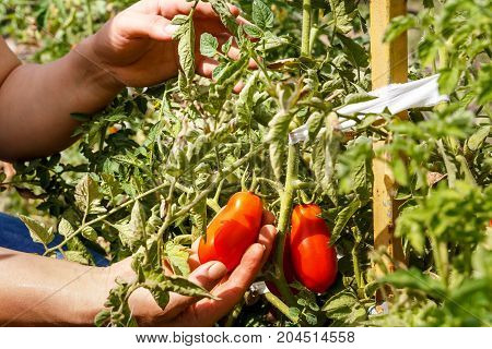 Tomatoes. Picking tomatoes in a garden garden. Garden with a harvest of tomatoes. Fresh vegetables. Organic food