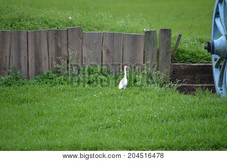 cattle egret in the grass on a rainy day