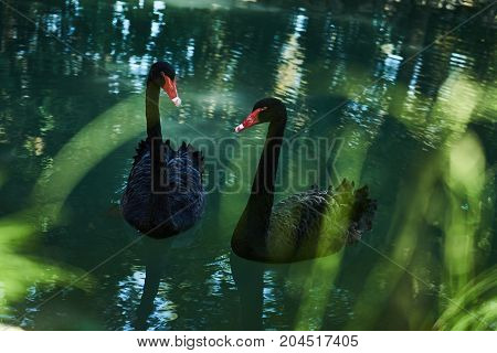 Two Black Swans Float In The Lake