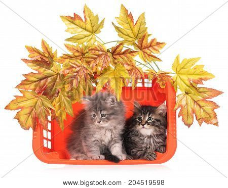 Cute fluffy kittens with basket and decorative foliage over white background