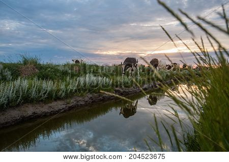 Cattle of cows walking a along a water-filled trench on the frysian mud flats known as it Noarderleech during sunset.