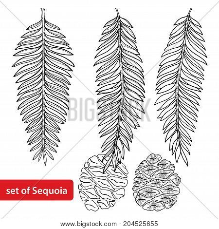 Vector set with outline Sequoia or California redwood in black isolated on white background. Coniferous tree with pine, cone and branch in contour style for botanical design and coloring book.