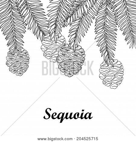 Vector branch with outline Sequoia or California redwood isolated on white background. Bunch of coniferous tree with pine and cones in contour style for botanical design and coloring book.