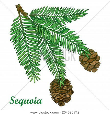 Vector branch with outline Sequoia or California redwood isolated on white background. Branch of coniferous tree with green pine and brown cones in contour style for botanical design.