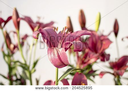 Exotic lily flowers in background are buds.