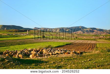 herd of the sheep who are grazed in the mountains of Morocco on a sunset on a background the old abandoned mosque