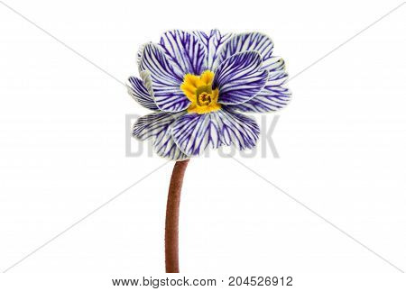 Primrose blue flower isolated on white background