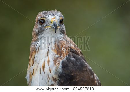 A very close half length portrait of a red tailed hawk staring inquisitively to the right against a natural plain green background