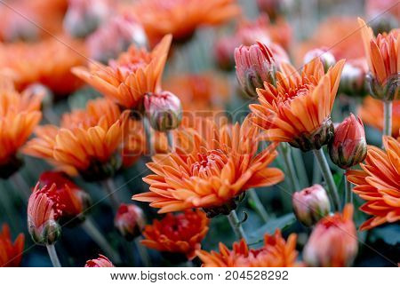 Marigold flowers in the meadow orange flowers