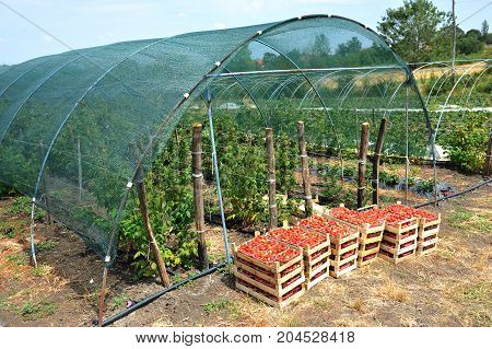 Fresh picked red strawberries in a wooden boxes in front of greenhouse