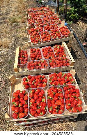 Fresh picked red strawberries in a wooden boxes
