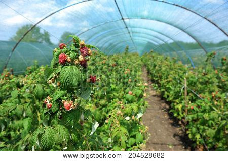Raspberry plants in a greenhouse, plantation of raspberry