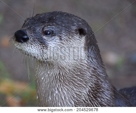 A portrait of a lone Otter in profile
