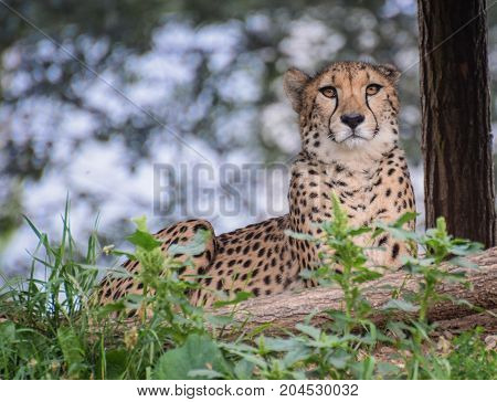 A Cheetah sitting in the shade of a tree