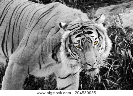 Black and white of a tiger with eyes in colour