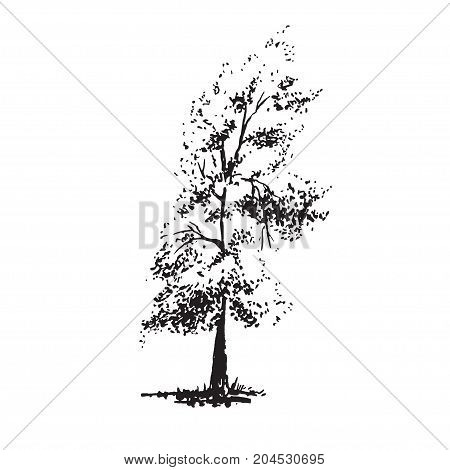 Hand-drawn tree, poplar. Black and white realistic image, sketch painted with ink brush.. Vector illustration