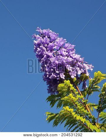 Jacaranda mimosifolia with purple-blue flowers on a blue sky background, Tenerife,Canary Islands,Spain.Jacaranda tree.