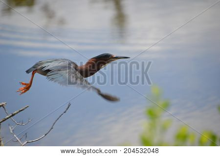 an adult green heron in flight near the gulf of mexico