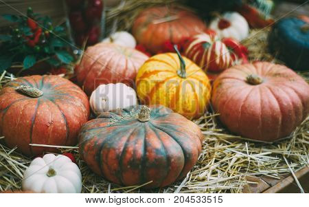 Plenty of pumpkins of different kind form color and sizes are laying on dry straw ready for Halloween celebration or Thanksgiving day shallow depth of field