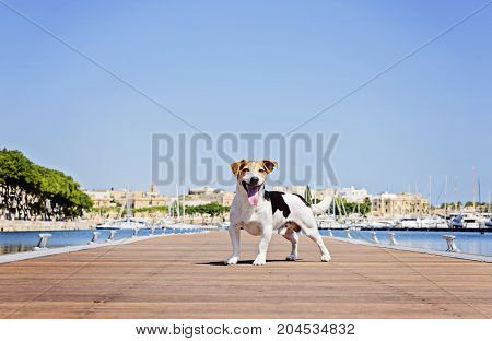 Adult Tricolor Dog Jack Russell Terrier Stands on the wooden pontoon on background of blue sea and yachts