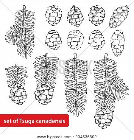 Vector set with outline Tsuga or Canadian hemlock in black isolated on white background. Coniferous tree Hemlock with pine, cone and branch in contour style for botanical design and coloring book.