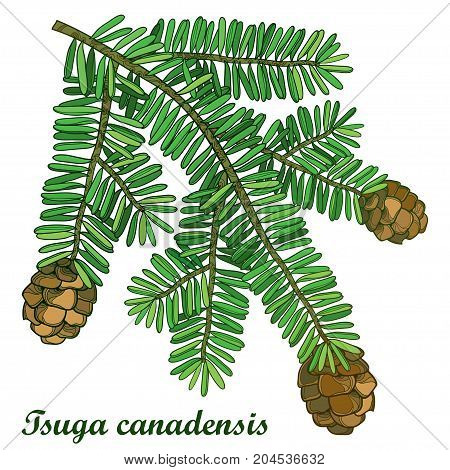 Vector branch with outline Tsuga or eastern Canadian hemlock isolated on white background. Coniferous Hemlock tree with green pine and cones in contour style for botanical design.