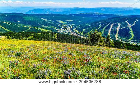 Hiking through the meadows covered in wildflowers in the high alpine near the village of Sun Peaks in the Shuswap Highlands in central British Columbia Canada