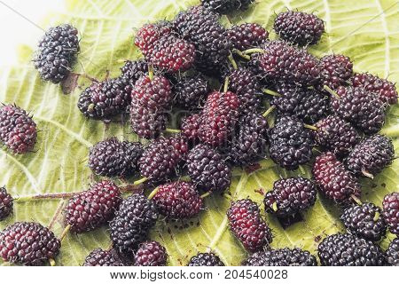 The blackberry is an edible fruit produced by many species in the Rubus genus in the Rosaceae family hybrids among these species within the Rubus subgenus and hybrids between the Rubus and Idaeobatus subgenera.