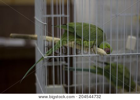A green parrot on a branch in a cage
