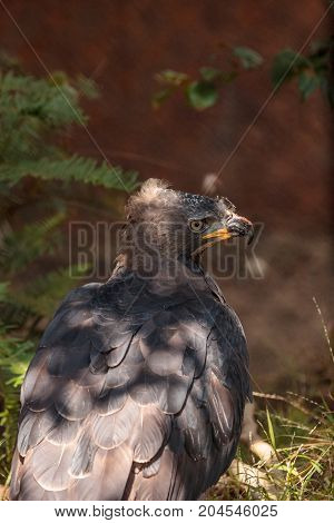 African crowned eagle Stephanoaetus coronatus is a bird of prey found in sub-Saharan Africa.