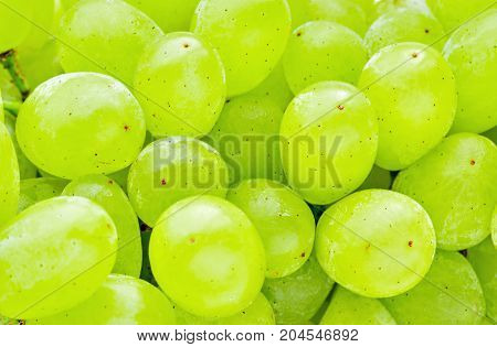 Very fresh green grapes background. Grapes branch in the garden.