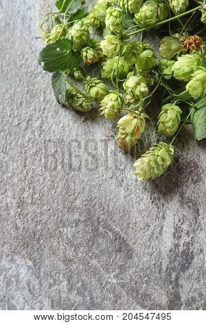 Vintage Style. Beer Production Ingredient. Fresh-picked Whole Ho