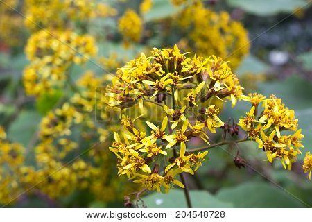 Roldana petasitis plant with flowers. Velvet groundsel