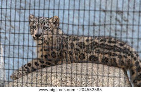 Snow Leopard Panthera Uncia
