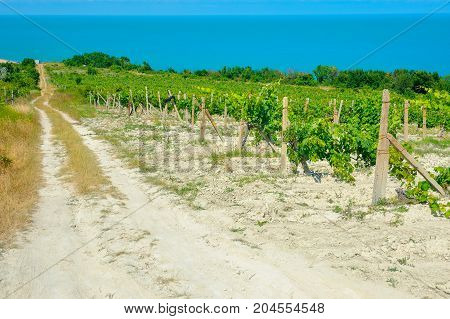 vineyards growing on slopes of hills on Black Sea coasts of Bulgaria on a background the sea stretches