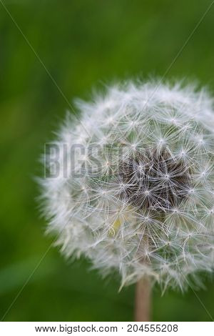 dandelion close-up. Dandelion in the center of the picture, beautiful relaxing background.