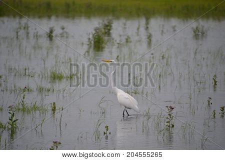 great egret on a rainy day in florida
