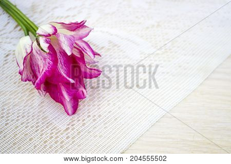 Tulip, White Pink, On A White Lace Background, Space For Text, Top View. Festive Greeting Card