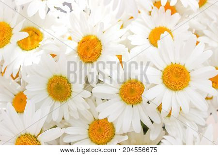 Daisy camomile flower, a lot of flowers