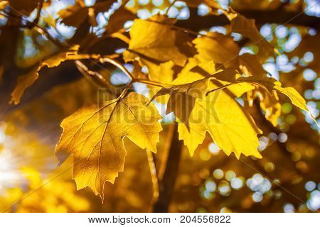Yellow leaves of a Kalina tree in autumn in the rays of warm sunny evening light against a blue sky