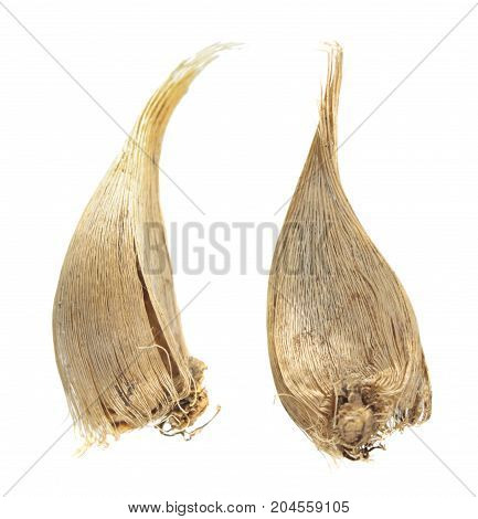 Bulbs of Danford iris or dwarf iris (Iris danfordiae) isolated on white background