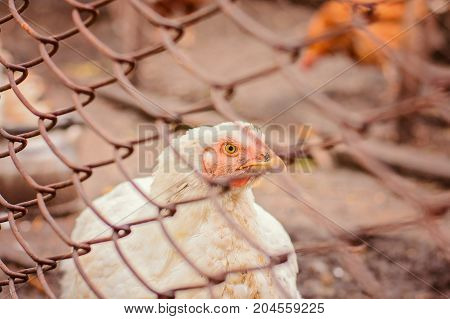 Close-up Portrait Of A White Chicken
