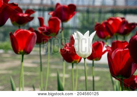 Beautiful view of red tulips in the garden. One white tulip among the red tulips. concept - individuality and loneliness.