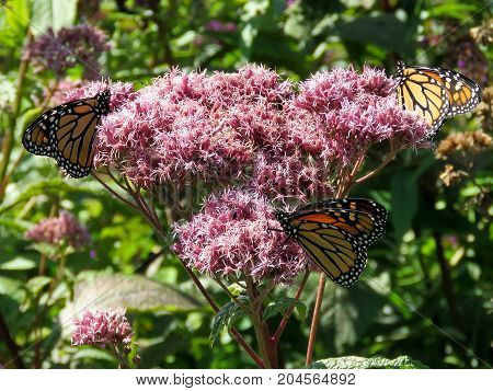 Three Monarch butterflies on a flower in garden on bank of the Lake Ontario in Toronto Canada September 12 2017